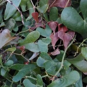 Photographie n°2229769 du taxon Smilax aspera L. [1753]