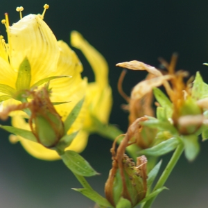Photographie n°2229821 du taxon Hypericum perforatum L.