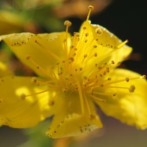 Photographie n°2229825 du taxon Hypericum perforatum L.