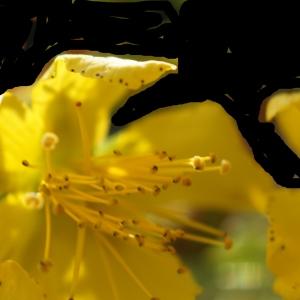 Photographie n°2229826 du taxon Hypericum perforatum L.