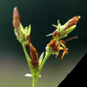 Photographie n°2229829 du taxon Hypericum perforatum L.