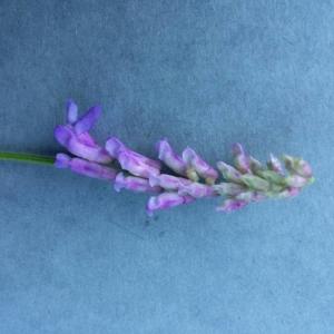 Photographie n°2230207 du taxon Vicia cracca L. [1753]