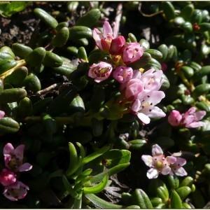 - Kalmia procumbens (L.) Gift, Kron & P.F.Stevens ex Galasso, Banfi & F.Conti