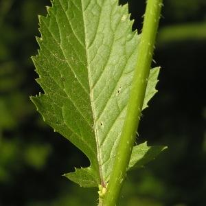 Photographie n°2230737 du taxon Sinapis arvensis L. [1753]