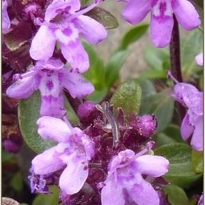 Photographie n°2231380 du taxon Thymus L.