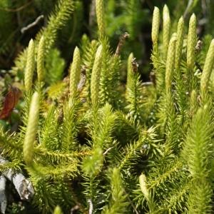 Photographie n°2231520 du taxon Lycopodium clavatum L. [1753]