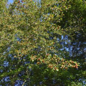 Photographie n°2231837 du taxon Fagus sylvatica L.