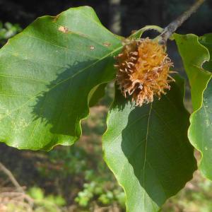 Photographie n°2231839 du taxon Fagus sylvatica L.