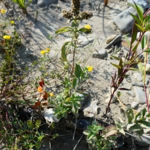Photographie n°2232033 du taxon Mentha longifolia (L.) Huds. [1762]