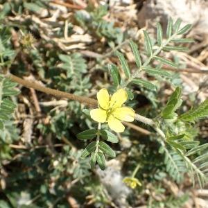 Photographie n°2232147 du taxon Tribulus terrestris L. [1753]