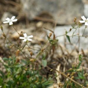 Photographie n°2232227 du taxon Silene rupestris L.