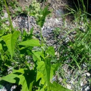 - Chenopodiastrum hybridum (L.) S.Fuentes, Uotila & Borsch