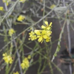 Photographie n°2232547 du taxon Erucastrum incanum (L.) W.D.J.Koch [1837]