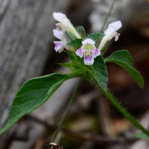 Photographie n°2232667 du taxon Galeopsis tetrahit L.
