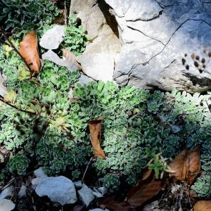 Photographie n°2232677 du taxon Saxifraga paniculata Mill.