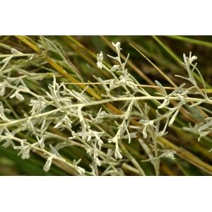 Artemisia maritima L. subsp. maritima (Armoise maritime)