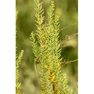 Suaeda vera Forssk. ex J.F.Gmel. subsp. vera (Soude ligneuse)