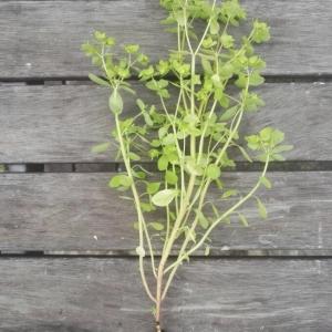 Photographie n°2232939 du taxon Euphorbia peplus L. [1753]