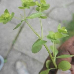 Photographie n°2232940 du taxon Euphorbia peplus L. [1753]