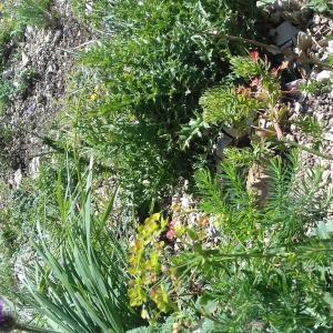 - Euphorbiaceae