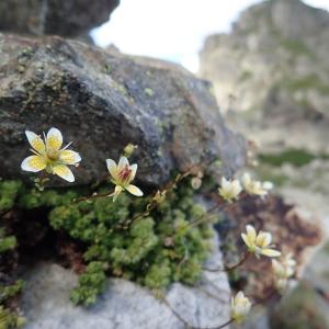Photographie n°2233413 du taxon Saxifraga bryoides L. [1753]