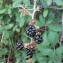 Catherine Bouvard - Rubus ulmifolius Schott [1818]