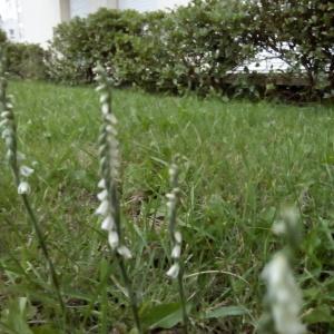 Photographie n°2233798 du taxon Spiranthes spiralis (L.) Chevall. [1827]