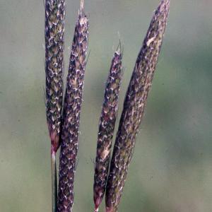 Photographie n°2233860 du taxon Alopecurus bulbosus Gouan