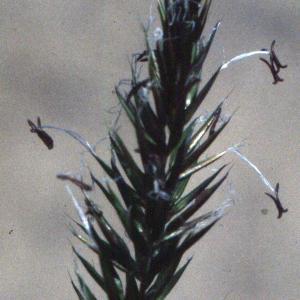 Photographie n°2233879 du taxon Anthoxanthum odoratum L.