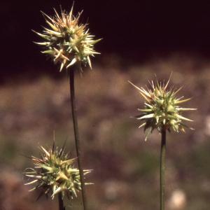 Photographie n°2234134 du taxon Echinaria capitata (L.) Desf. [1799]