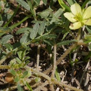 Photographie n°2234173 du taxon Tribulus terrestris L. [1753]