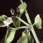 Liliane Roubaudi - Salpichroa origanifolia (Lam.) Baill. [1888]
