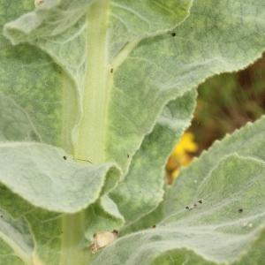Photographie n°2235090 du taxon Verbascum thapsus L.