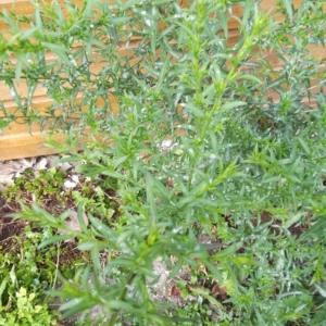 Photographie n°2235196 du taxon Artemisia dracunculus L. [1753]