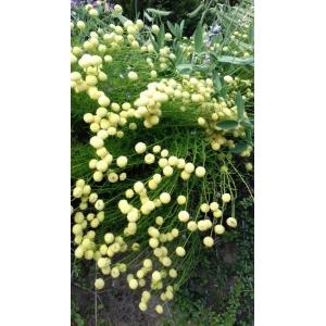 Santolina rosmarinifolia L. (Santoline à feuilles de romarin)