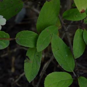 Photographie n°2235297 du taxon Hydrangea paniculata Siebold [1829]