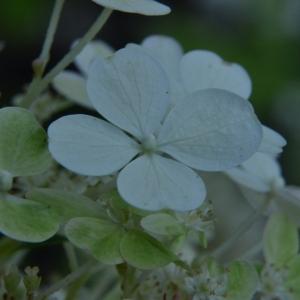 Photographie n°2235298 du taxon Hydrangea paniculata Siebold [1829]