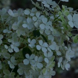 Photographie n°2235299 du taxon Hydrangea paniculata Siebold [1829]
