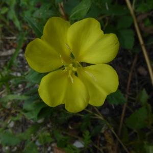 Photographie n°2235502 du taxon Oenothera L.