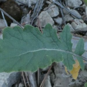Photographie n°2235668 du taxon Linaria repens (L.) Mill. [1768]