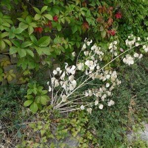 Photographie n°2235786 du taxon Lunaria annua L.