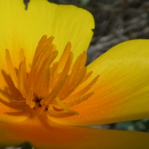 Photographie n°2235790 du taxon Eschscholzia californica Cham. [1820]