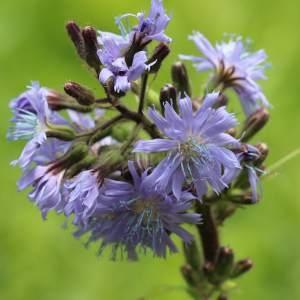 Lactuca alpina (L.) Benth. & Hook.f. (Laiteron des montagnes)
