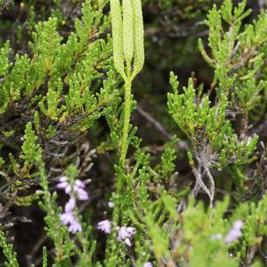 Photographie n°2236363 du taxon Lycopodium clavatum L. [1753]