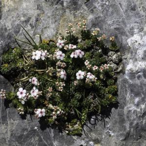 Photographie n°2236376 du taxon Androsace villosa L. [1753]