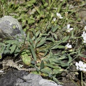Photographie n°2236391 du taxon Atocion rupestre (L.) B.Oxelman