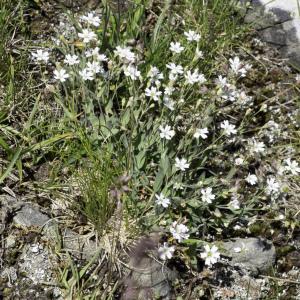 Photographie n°2236392 du taxon Atocion rupestre (L.) B.Oxelman