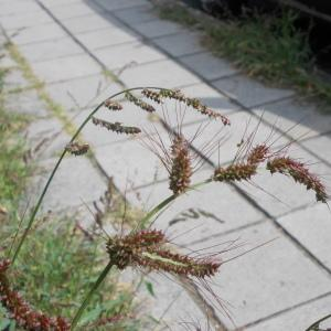 Photographie n°2236572 du taxon Echinochloé pied-de-coq