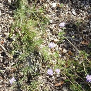 Photographie n°2236596 du taxon Scabiosa triandra L. [1753]