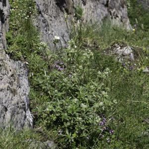 Photographie n°2236649 du taxon Potentilla alchemilloides Lapeyr. [1782]